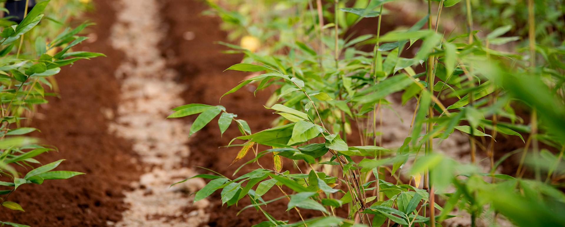 slide-home-piante-bambu-consorzio-bambu-italia